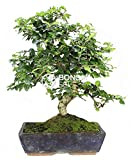 Bonsai - Carmona, 16 Aos (Bonsai Sei - Carmona Microphylla)
