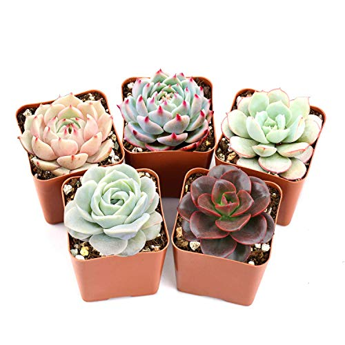 Succulent Plants, 5 Pack of Assorted Rosettes, Fully Rooted in 2'...
