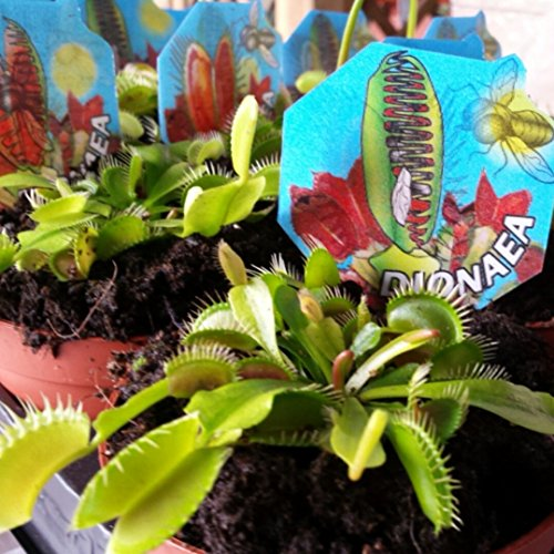 Venus Atrapamoscas - Dionaea - Maceta 9cm. - Planta viva - (Envíos sólo a Península)