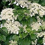 1 X Hydrangea 'PETIOLARIS' Climbing DECIDUOUS Shrub Hardy Plant in Pot