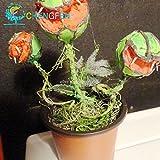 La venta caliente 100pcs Semilla de plantas en maceta insectvora Dionaea gigantes Clip Semillas del atrapamoscas de Venus del envo libre de la planta carnvora