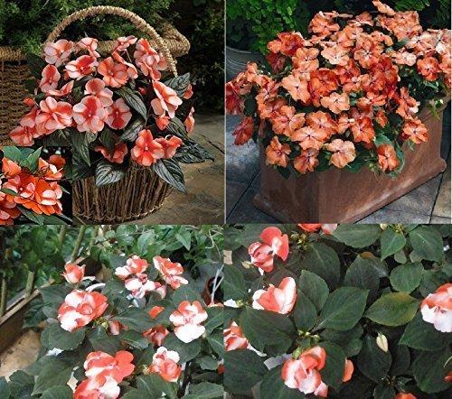 10 x F1 BUSY LIZZIE Circus arancione bianco fiori Lizzie giardino nuovo semi seme FIORE #380