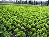 100% autntico !!! semillas de plantas bonsai semillas FRESCO Juniperus chinensis 'Kaizuka' *
