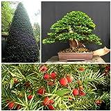 ScoutSeed 10 semillas de Taxus baccata, Tasso baccata, semillas de bonsai C