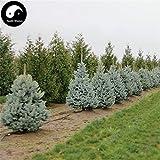 Semillas Comprar Picea pungens abeto 240pcs azul planta de rbol Spruce china Lan Shan