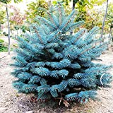 Venta! 50pcs / lot semillas de flores de plantas de hoja perenne Colorado Blue Spruce Picea glauca Pungens rbol Semillas + secretas regalos Bonsai nave libre