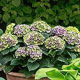 Hydrangea macrophylla 'Magical Amethyst Blue'  Blue-Purple Hydrangea   Hardy   Height 30-40cm   Pot-Ø 23cm