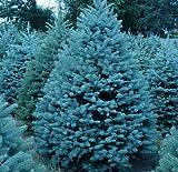 Semillas Semillas Bonsai azul Abeto Picea pungens rbol de hoja perenne 100 partculas / bolso 2