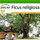 SAFLAX - Higuera sagrada - 100 semillas - Con sustrato estril para cultivo - Ficus religiosa