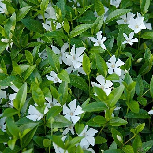 Vinca minor alba immergrüner Bodendecker winterhart 5-7 Triebe pro Topf weiß (10 Stück)