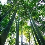 Un paquete de 60 unidades crecen fcil semillas frescas gigante Moso bamb por un jardn de DIY Planta * bonsai Orgnica