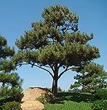 Semillas de pino negro japons y pino negro - Pinus thunbergii -