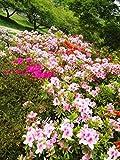 100 PC / Variedades bolsa de semillas de la azalea, hermosa planta de jardn de la flor en maceta Flores de semillas interior Semillas Bonsai 3