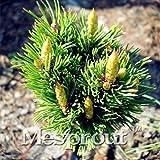 Prdida de la promocin! Caliente 50PCS Pinus densiflora semillas de rboles bonsai en maceta plantas Semillas de estar Balcn japons del rbol de pino