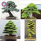10pcs / semillas de rboles raros bolsa para el hogar bonsai orgnica roja cedro japons Semillas de hoja perenne deodara madera semillas en macetas de interior
