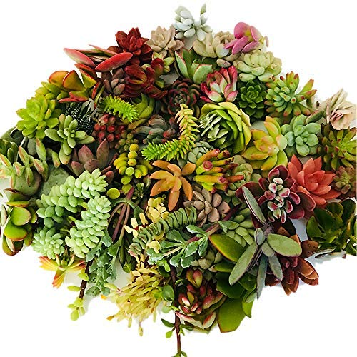 Live Succulent Cuttings 10 Assorted Varieties Beginners Succulent...