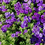 David's Garden Seeds Flower Phlox Annual Beauty Blue 6488 (Blue) 200 Non-GMO, Open Pollinated Seeds