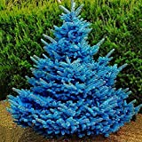 quanjucheer 100Pcs Sequoia Seeds Colorado Sky Blue Spruce Picea Pungens Glauca Tree Seeds Garden Decor Semillas Picea Pungens