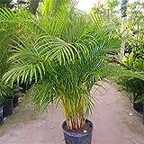 20 PC Bonsai Palmera semillas de bamb Plantas semillas para el jardn