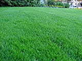 Kentucky Bluegrass Lawn Grass Seed, 1 Pound