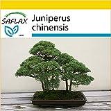 SAFLAX - Set de cultivo - Enebro de la China - 30 semillas - Con mini-invernadero, sustrato de cultivo y 2 maceteros - Juniperus chinensis