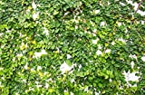 Potseed Escalada Ficus 10 Semillas (Ficus pumila)