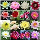 Semillas de loto Bonsai Bowl, 30 piezas de semillas de plantas de flores de lirio de agua, patio ornamental, los mejores colores mezclados viables, semillas de caractersticas