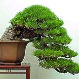 20 PC / bolso semillas de pino negro semillas verdes rboles bonsai planta de Pinus thunbergii Parl para el jardn de plantas leosas perennes rectas 6