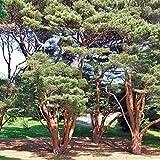 20 semillas de pino rojo japons/Pinus Densiflora