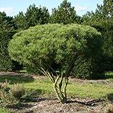 Pino rojo japons Pinus Densiflora - 20 + Semillas