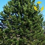 AUSTRIA PINO Pinus nigra Austriaca 10 SEMILLAS