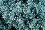 ScoutSeed Picea pungens glauca (abeto Colorado azul) - 25 semillas