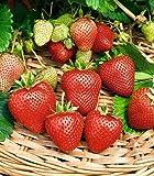 Beautytalk Jardin-Fraise grimpante 'Hummi', fraises rouges fresca, délicieux...