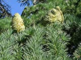 Deodar cedro (cedro del Himalaya) Semillas Cedrus deodara rbol de hoja perenne fragantes 10