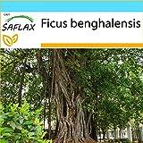 SAFLAX - Set regalo - Higuera de Bengala - 20 semillas - Con caja regalo/envo, etiqueta para envo, tarjeta de felicitacin y sustrato de cultivo y fertilizante - Ficus benghalensis