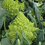 ・定植後、約100日前後で収穫できる中晩生品種。寒さには強いです。 ・花蕾は淡緑色で、硬くよく締まるため棚持ちが良い。 ・耐寒性があり、花蕾のシミ・奇形の発生が少ない。 ・花蕾がツリー状にばらけ調理しやすく甘みが強くおいしい。 ・植付け 日当たりと水はけの良い場所を選びましょう。酸性の土を嫌うので植付前に苦土石灰などで調整してください。元肥として野菜用肥料などを施します。鉢植の場合は野菜用の大き目のプランターに野菜用培養土などを使用し元肥を施します。植え穴は大きくあけ、根鉢が見えるぐらいのやや浅...