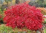 Hoja de arce japons rojo de encaje, Acer palmatum atropurpureum Dissectum, 30 semillas de rboles