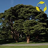 JAPONS pino rojo Pinus Densiflora - 20 + SEMILLAS