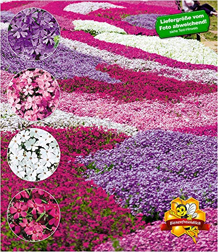 """BALDUR-Garten Winterharter Bodendecker Phlox-Mix\""""Flowers of the Sea\"""" Polsterphlox Polster-Flammenblume Polsterstauden Teppichphlox Moosphlox mehrjährig, 4 Pflanzen Phlox subulata"""