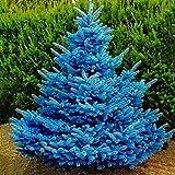 Uticon Las Semillas 100pcs Colorado Sky Blue Spruce Picea Glauca Pungens Rbol Del JardN DecoraciN - Semillas De La Picea Pungens