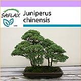 SAFLAX - Enebro de la China - 30 semillas - Juniperus chinensis