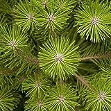 Grmenes japoneses rojo del rbol de pino (Pinus densiflora) + 25 Semillas