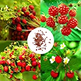 Cioler Seed House - Graines de fraises sauvages rares rares, Couvre-sol de framboise biologique respectueux de l'environnement et culture biologique pour un balcon ou une terrasse