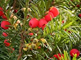 VISA STORE Ingls tejo, Taxus baccata, 30 semillas de semillas (Evergreen, Topiary, Bonsai)