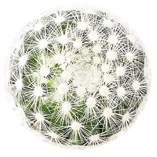 SmartMe: Live Pincushion Cactus (2 inch)