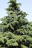 Cedrus deodara Cedro del Himalaya semillas aromticas rbol de rpido crecimiento tolerante a la sequa (10 semillas)