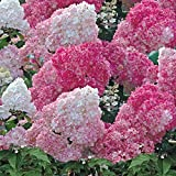 Hydrangea Potted Plant Flowers Outdoor Shrub for Patios, White Vanille Fraise Easy to Grow, 1 x 8cm Pot by Thompson & Morgan