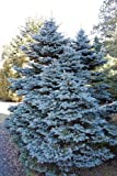 Tree Seeds Online - Picea Pungens Glauco. Colorado Azul Spruce. 50 Semillas - Paquete con 1