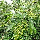 山椒の苗木 ぶどう山椒(ブドウサンショ)13.5cmポット 接木苗【1年生 接木苗/樹高約50cm】雌雄同株で1本で結実します。●ぶどう山椒とは、山椒の品種名で、実がぶどうの房のように房なりになることからそう呼ばれています。一粒一粒が他の品種に比べて大きいのが特徴です。 実取りサンショウの中でも香りが特に良く育てやすい品種。葉には極上の芳香があり、実にはピリッとした辛味があります。若芽、葉、花、実、樹皮などほとんどの部位が香辛料として使え、吸い物に入れたり佃煮に入れたりと1本植えると重宝します。ぶどう山椒は朝倉山椒から派生してできたと言われています。枝には小さなトゲがあります。耐寒性が強く、寒冷地の標高の高い処以外、日本全国で栽培可能です。【※落葉樹ですので、秋から4月頃までは葉の無い幹だけの状態での出荷となります。出荷タイミングにより、苗の大きさは多少大きくなったり小さくなったりしますが、生育に問題が無い苗を選んで出荷します。植物ですので多少の葉傷み等がある場合もございますが、あらかじめ、ご了承下さい】