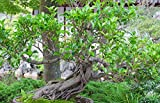 VISA STORE RWS Ficus Macrophylla 10 semillas
